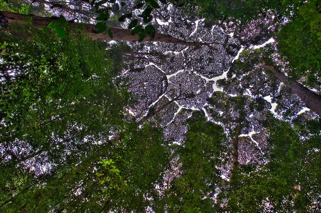 Crown shyness - là hiện tượng tự nhiên xảy ra đối với một số loài cây, trong đó những tán cây trên cao mọc gần nhau, có chiều cao tương đồng nhưng không bao giờ đan xen hay chạm vào nhau