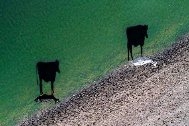Hai con bò đang đi uống nước vào buổi sáng tại Nam Phi và bóng của chúng in xuống mặt nước thật ấn tượng. Tác giả LukeMaximoBell