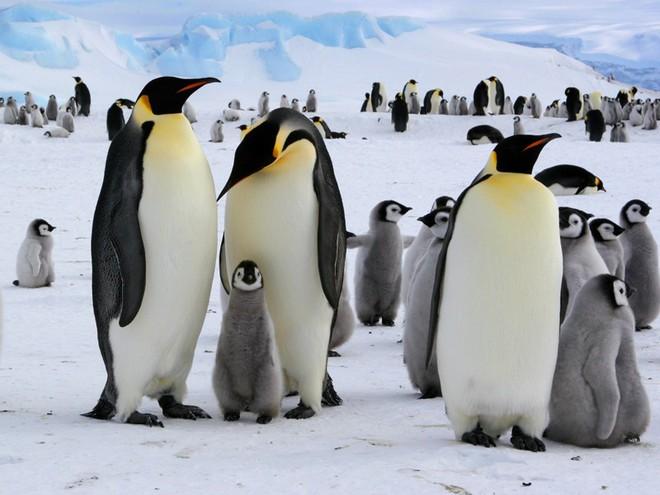 Phát hiện ra loài chim cánh cụt còn cao hơn chiều cao trung bình người Việt Nam, từng thống trị bờ biển New Zealand - Ảnh 2.