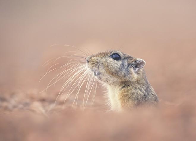DNA tối trong chuột cát có thể nắm giữ nhiều bí mật của tiến hóa