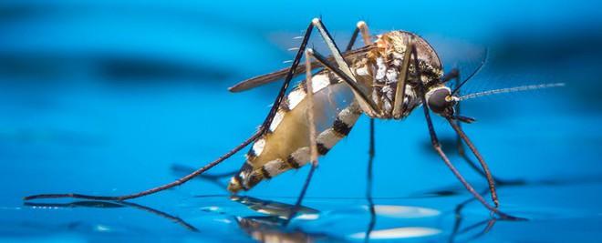 Muỗi là tác nhân truyền bệnh sốt xuất huyết, Zika...
