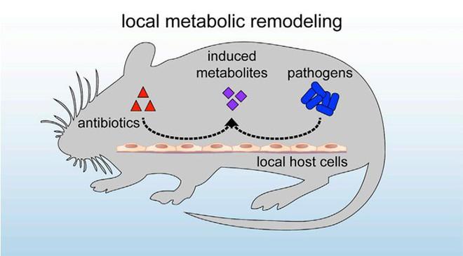 Nghiên cứu mới chỉ ra kháng sinh làm giảm khả năng tiêu diệt vi khuẩn của đại thực bào ở chuột