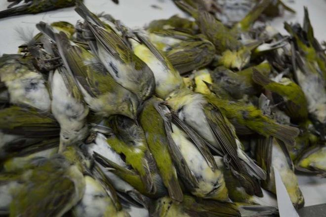 Gần 400 chú chim bỏ mạng chỉ trong một đêm tại Texas.