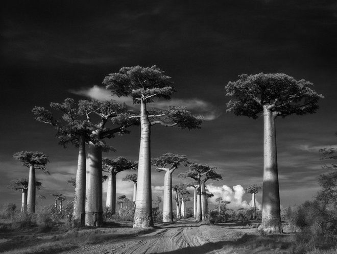 Cây Bao báp của vùng Madagascar