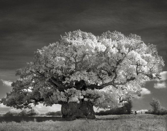 Cây Bowthorpe Oak