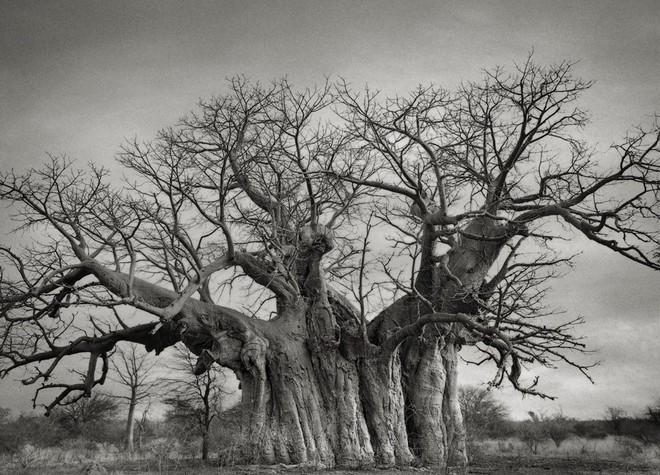 Một cây Bao báp khác với thân cây khổng lồ ở Limpopo, Nam Phi. Tuổi thọ của nó khoảng 800 năm.