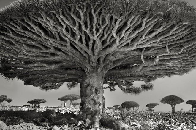 Cây máu rồng trong bức ảnh Heart of Dragon này được chụp ở Socotra, Yemen