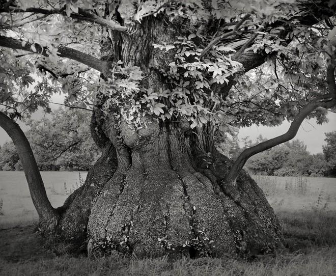 Cây dẻ Tây Ban Nha trong lâu đài Croft, Herefordshire, Anh đã sống qua khoảng 4-5 thể kỷ.