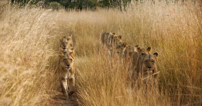 Trên vùng đất Zambia cháy bỏng, cỏ mọc cao đến nỗi người ta sẽ nghĩ ở đây chẳng có gì thú vị. Tuy nhiên, chúng ta đã nhầm, có vẻ những con sư tử cái này cũng đang rất khó chịu vì bị cỏ lướt trên mặt. Bức ảnh này được chụp bởi Torie Hilley