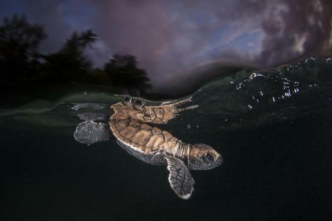 Chú rùa này mới ra khỏi trứng cách đó vài phút, có lẽ nó vẫn chưa ý thức được cuộc sống phía trước là một cuộc đấu tranh mệt mỏi và đầy hiểm nguy. Bức ảnh được thực hiện bởi nhiếp ảnh gia Matthew Smith