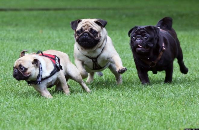 Vì mắt lồi lại thích lăn lộn nên chó Pug thường bị thương ở mắt, khi nuôi cần phải hết sức chú ý