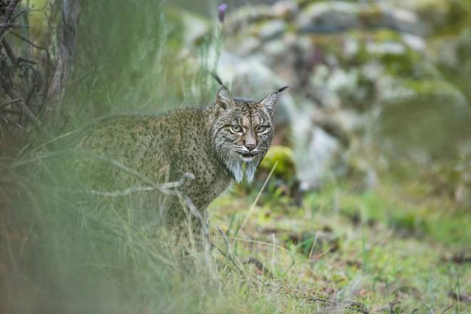 Gia đình Laura Albiac Vilas đã tới công viên thiên nhiên Sierra de Andújar để theo dõi, và may mắn bắt gặp một đôi mèo ngay gần lối đi.