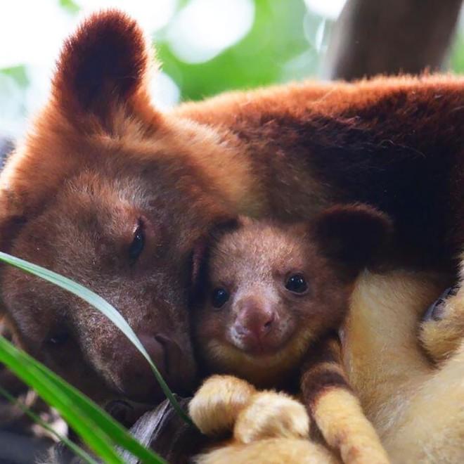 Loài chuột túi sống trên cây đáng yêu như thế này là có thật, đáng buồn là chúng sắp tuyệt chủng - Ảnh 1.