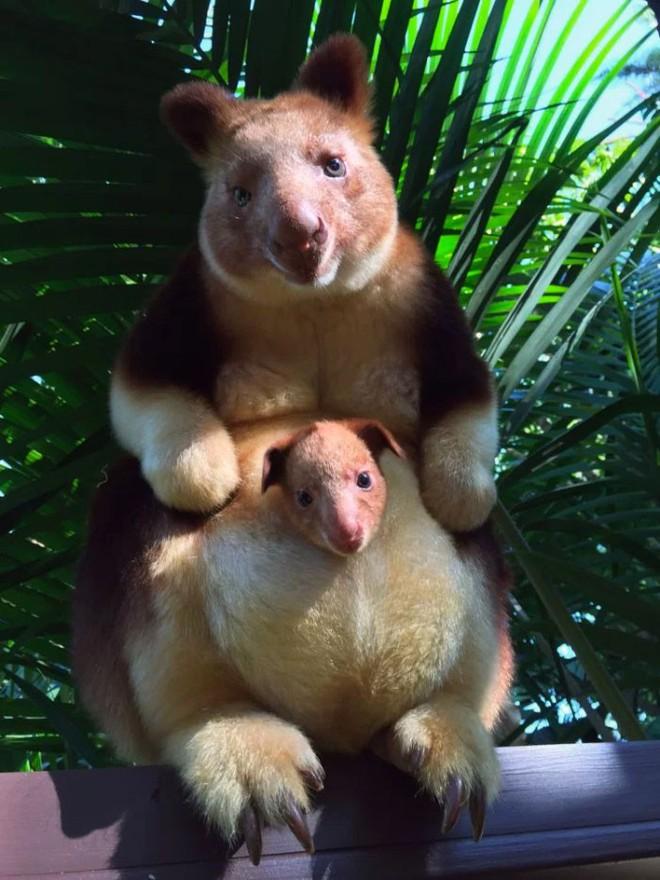 Loài chuột túi sống trên cây đáng yêu như thế này là có thật, đáng buồn là chúng sắp tuyệt chủng - Ảnh 2.