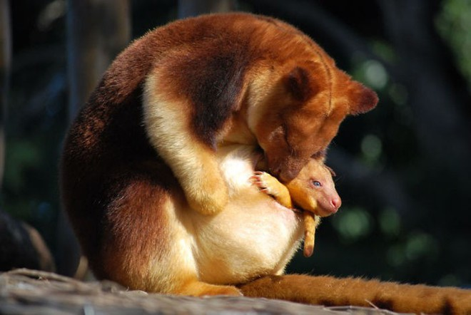 Loài chuột túi sống trên cây đáng yêu như thế này là có thật, đáng buồn là chúng sắp tuyệt chủng - Ảnh 3.