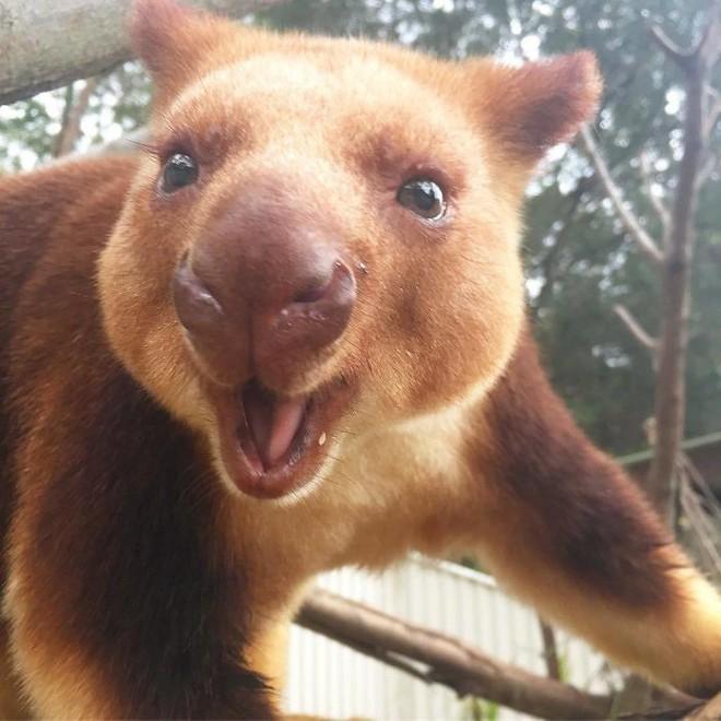 Loài chuột túi sống trên cây đáng yêu như thế này là có thật, đáng buồn là chúng sắp tuyệt chủng - Ảnh 5.