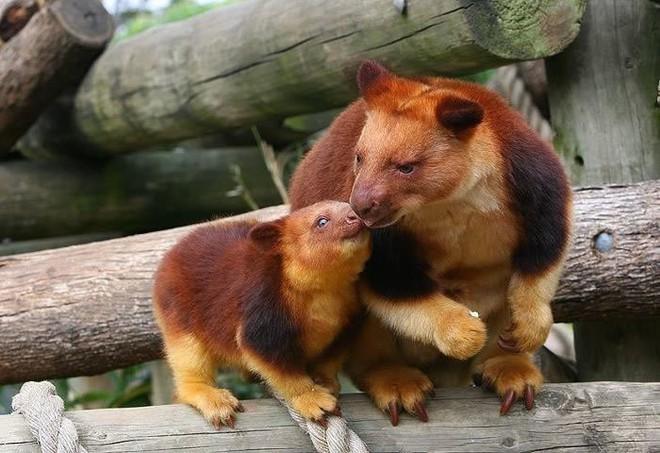 Loài chuột túi sống trên cây đáng yêu như thế này là có thật, đáng buồn là chúng sắp tuyệt chủng - Ảnh 6.