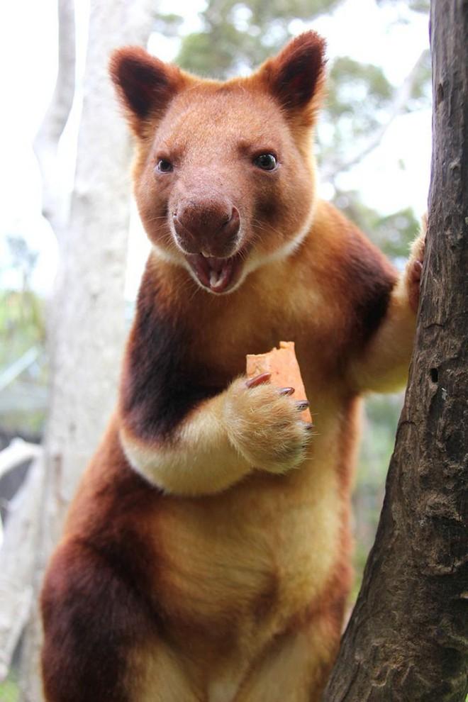 Loài chuột túi sống trên cây đáng yêu như thế này là có thật, đáng buồn là chúng sắp tuyệt chủng - Ảnh 9.