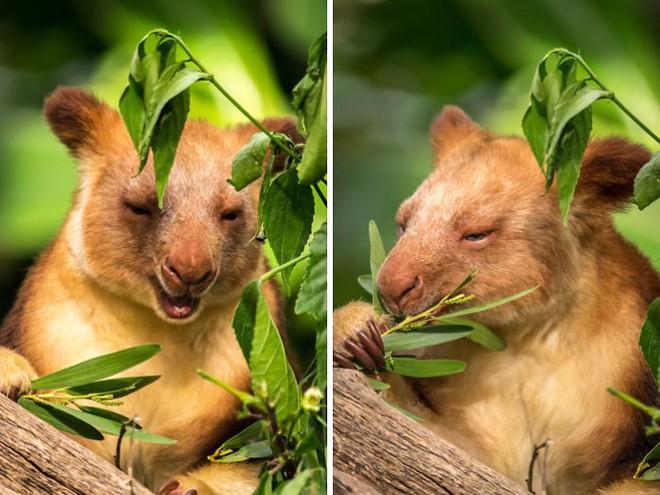Loài chuột túi sống trên cây đáng yêu như thế này là có thật, đáng buồn là chúng sắp tuyệt chủng - Ảnh 10.