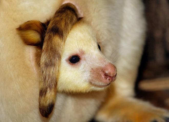 Loài chuột túi sống trên cây đáng yêu như thế này là có thật, đáng buồn là chúng sắp tuyệt chủng - Ảnh 11.