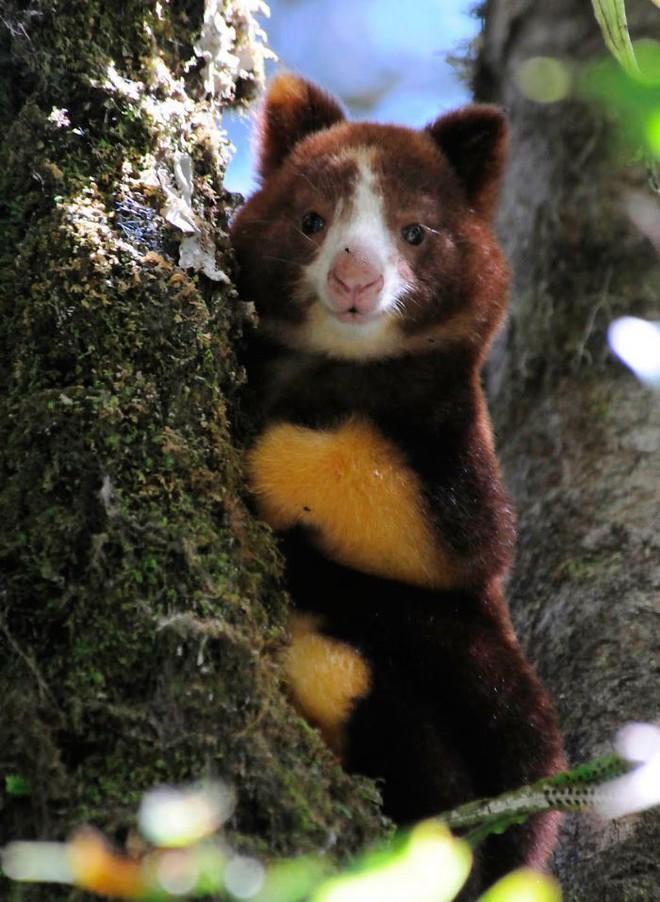 Loài chuột túi sống trên cây đáng yêu như thế này là có thật, đáng buồn là chúng sắp tuyệt chủng - Ảnh 12.