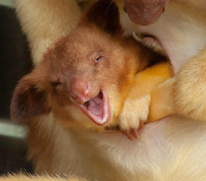 Loài chuột túi sống trên cây đáng yêu như thế này là có thật, đáng buồn là chúng sắp tuyệt chủng - Ảnh 15.