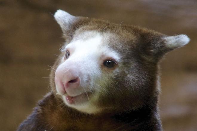 Loài chuột túi sống trên cây đáng yêu như thế này là có thật, đáng buồn là chúng sắp tuyệt chủng - Ảnh 16.
