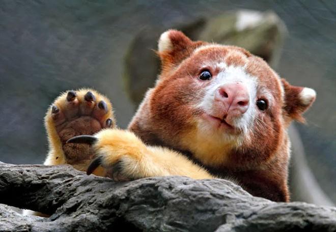 Loài chuột túi sống trên cây đáng yêu như thế này là có thật, đáng buồn là chúng sắp tuyệt chủng - Ảnh 17.
