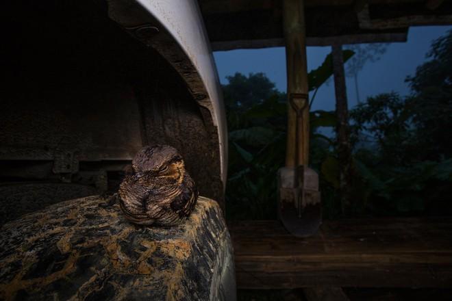 Nhiếp ảnh gia Jaime Culebras đã nhìn thấy chú chim này săn côn trùng xung quanh trang trại. Trước khi mặt trời mọc, nó đã nằm yên vị trên chiếc lốp xe và xuất hiện trong bức ảnh này.