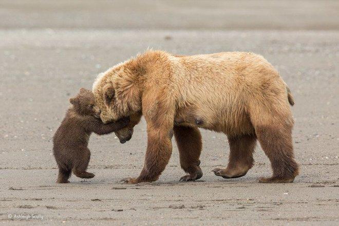 Nhiếp ảnh gia Ashleigh Scully chia sẻ về bức ảnh: Chú gấu con hình như nghĩ mình đủ to lớn để vật ngã mẹ ra cát. Còn gấu mẹ thì chơi đùa với con, kiên nhẫn và ấm áp.