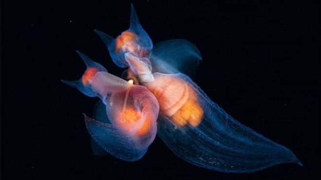 Loài sinh vật được gọi bằng cái tên mĩ miều - Thiên thần biển.