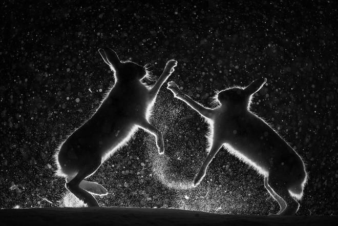 Nhiếp ảnh gia Erlend Haarberg đã ở ngoài rừng suốt nhiều đêm lạnh cóng để theo dõi những cuộc chiến này. Ông sử dụng đèn chiếu sáng ở một số nơi, nhưng phải cố làm sao cho bầy thỏ không giật mình.