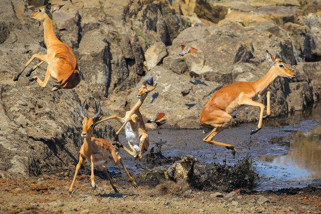 Nhiếp ảnh gia John Mullineux đã theo dõi gắt gao để bắt được khoảnh khắc tấn công bất thành của cá sấu và cú nhảy ngoạn mục của bầy linh dương.