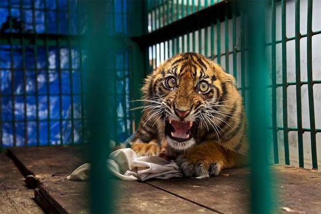 Ánh mắt dữ tợn của chúa sơn lâm ngay cả khi tàn phế và sống trong vườn thú.