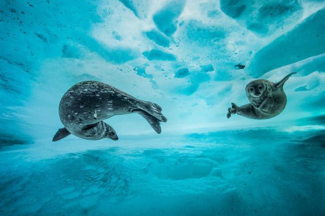 Nhiếp ảnh gia Laurent Ballesta nói về bức ảnh: Chúng trông thật thoải mái, dù ở một nơi lạnh giá như vậy.