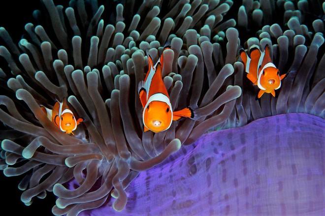 Nhiếp ảnh gia Qing Lin trong khi lặn ở eo biển Lembeh ở Bắc Sulawesi, Indonesia đã ghi lại được cảnh tượng thú vị này.