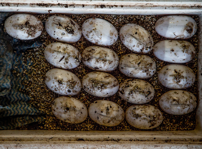 Thợ săn vùng phía Bắc này được phép thu thập tối đa 120.000 trứng/năm. Chúng sẽ được chuyển vào hộp lạnh và mang về các trang trại để ấp nở.