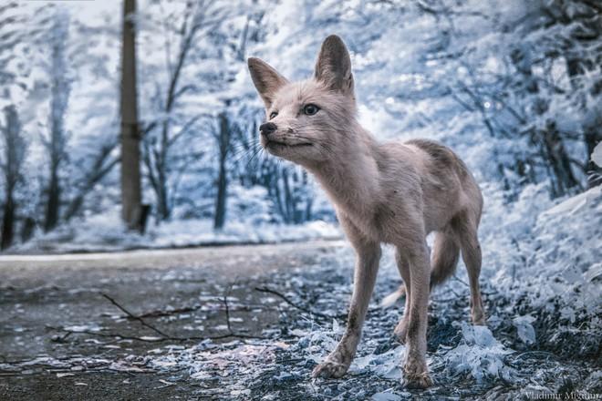 Một chú cáo khá thân thiện, nó đã tiến đến nhóm người của Vladimir để xin thức ăn.