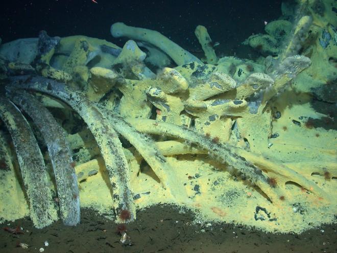 [Video] Chuyện gì xảy ra khi xác con cá voi chìm xuống đáy biển? - Ảnh 2.