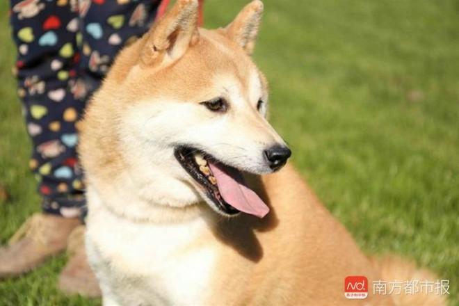 Chó Shiba bị tòa án Bắc Kinh bán đấu giá vì không thể thanh toán 3 năm dịch vụ ở khách sạn thú cưng - Ảnh 2.