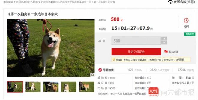 Chó Shiba bị tòa án Bắc Kinh bán đấu giá vì không thể thanh toán 3 năm dịch vụ ở khách sạn thú cưng - Ảnh 4.