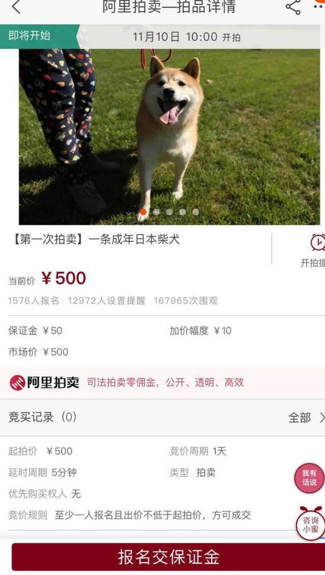 Chó Shiba bị tòa án Bắc Kinh bán đấu giá vì không thể thanh toán 3 năm dịch vụ ở khách sạn thú cưng - Ảnh 5.