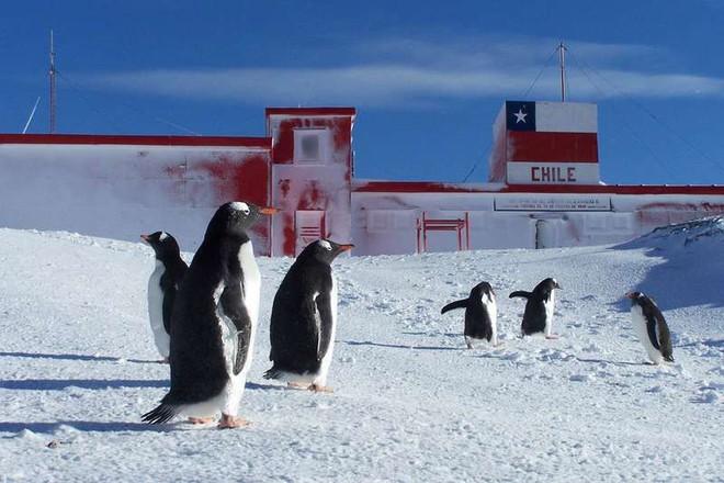 Gen kháng kháng sinh theo chân người lây nhiễm đến những con chim cánh cụt ở Nam Cực - Ảnh 1.