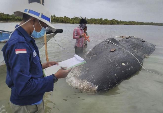 Tìm thấy 1000 mảnh nhựa và 2 đôi dép tông trong bụng cá nhà táng chết dạt vào bờ biển Indonesia - Ảnh 1.