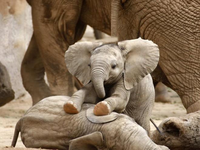 Voi châu Phi đang tiến hóa thành voi không ngà vì bị săn trộm quá nhiều - Ảnh 3.
