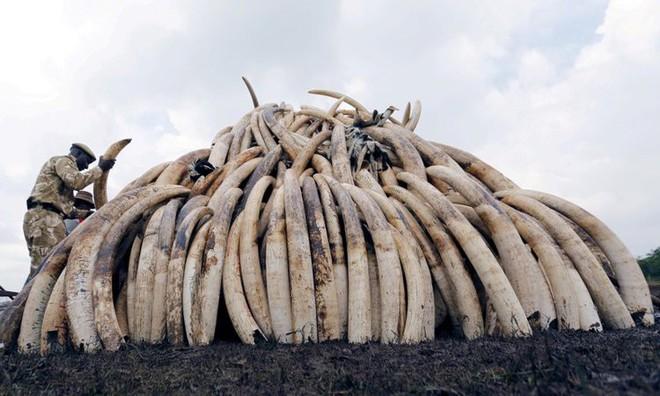 Voi châu Phi đang tiến hóa thành voi không ngà vì bị săn trộm quá nhiều - Ảnh 2.