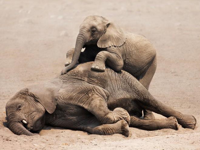 Voi châu Phi đang tiến hóa thành voi không ngà vì bị săn trộm quá nhiều - Ảnh 1.