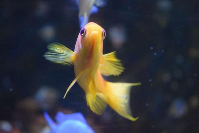 Những sự thật khó ai tin nổi về loài cá vàng: Được cưng hết mực ở Nhà Trắng, biết nghe nhạc và làm trò như cún - Ảnh 1.