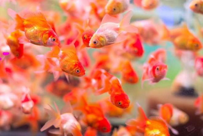 Những sự thật khó ai tin nổi về loài cá vàng: Được cưng hết mực ở Nhà Trắng, biết nghe nhạc và làm trò như cún - Ảnh 2.