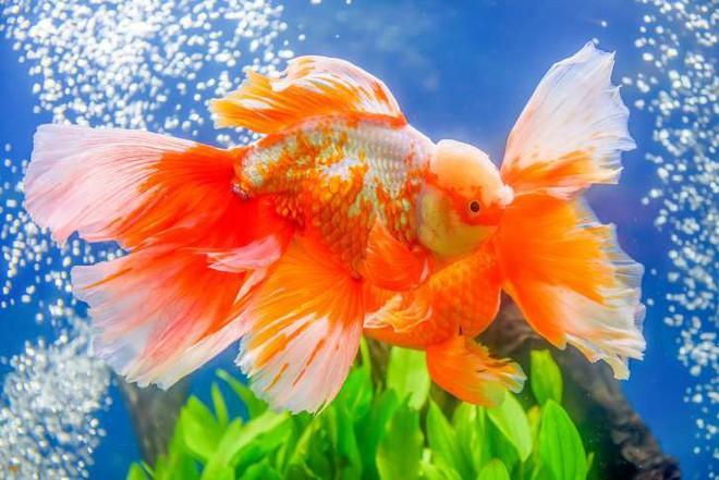 Những sự thật khó ai tin nổi về loài cá vàng: Được cưng hết mực ở Nhà Trắng, biết nghe nhạc và làm trò như cún - Ảnh 5.
